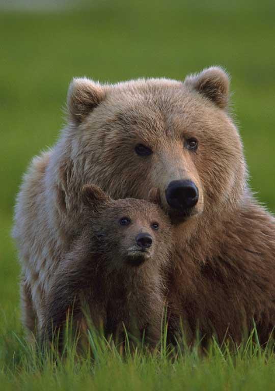 beautiful bear-cubcamily bear facts bear attacks bear species bears of USA Bears Australia bears Canada bears France bears Europe bears beautiful amazing animal attacks news picture