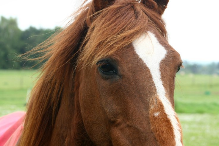 stock___chestnut_horse_2_by_moodymand-d51rk0d